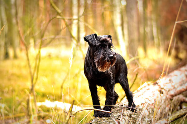 Black schnauzer standing on a log in yellow woods.