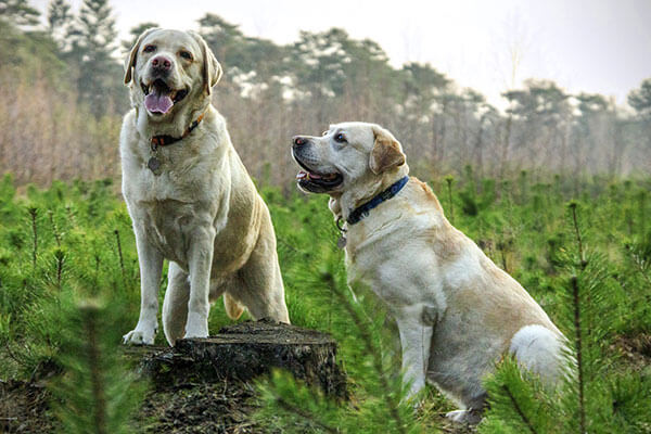 Two labradors in a field